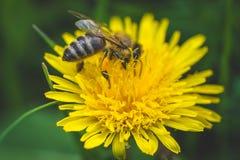 Diente de león y abeja amarillos El resorte está aquí Amor de la abeja esta flor Fotografía macra Imagen de archivo