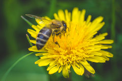 Diente de león y abeja amarillos El resorte está aquí Amor de la abeja esta flor Fotografía macra Fotografía de archivo