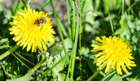Diente de león y abeja en fondo de la hierba Fotografía de archivo libre de regalías