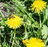 Diente de león y abeja en fondo de la hierba Imagen de archivo