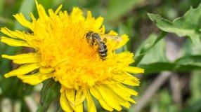 Diente de león y la abeja Imagen de archivo