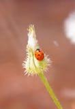 Diente de león y ladybug Imágenes de archivo libres de regalías