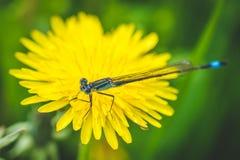 Diente de león y libélula amarillos El resorte está aquí Amor de la abeja esta flor Fotografía macra Fotografía de archivo