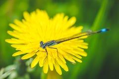 Diente de león y libélula amarillos El resorte está aquí Amor de la abeja esta flor Fotografía macra Foto de archivo libre de regalías