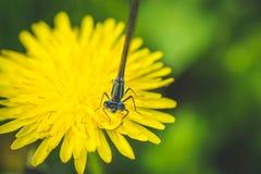 Diente de león y libélula amarillos El resorte está aquí Amor de la abeja esta flor Fotografía macra Fotografía de archivo libre de regalías