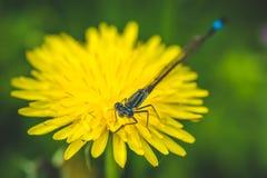 Diente de león y libélula amarillos El resorte está aquí Amor de la abeja esta flor Fotografía macra Foto de archivo