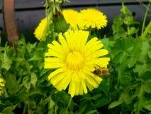 Diente de león y pequeña abeja Fotografía de archivo