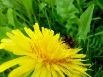 Diente de león y pequeña abeja Foto de archivo libre de regalías