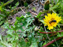 Diente de león y pequeña abeja Imagenes de archivo