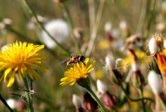 Diente de león y pequeña abeja Fotografía de archivo libre de regalías