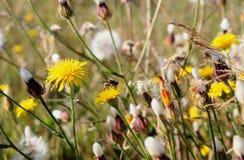 Diente de león y pequeña abeja Fotos de archivo libres de regalías