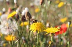 Diente de león y pequeña abeja Imagen de archivo libre de regalías