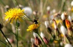Diente de león y pequeña abeja Imagen de archivo