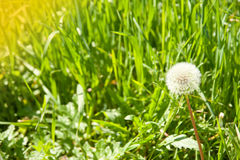 Diente de león y una abeja en una hierba verde Imagen de archivo