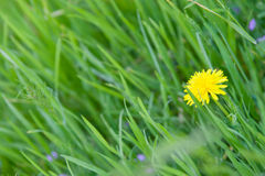 Diente de león y una abeja en una hierba verde Fotografía de archivo