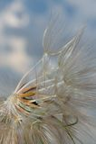 Diente de león y viento Imagenes de archivo