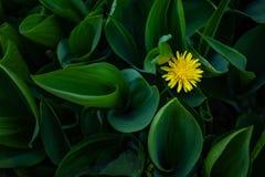 Diente de le?n amarillo en la hierba verde imagen de archivo libre de regalías