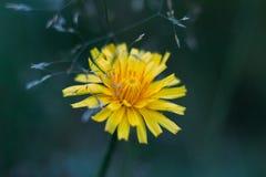 Diente de le?n de ca?da amarillo mullido de la flor en fondo borroso azul Ci?rrese encima de vista macra, lateral Hawkbit del oto imagen de archivo
