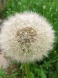 Diente de le?n mullido blanco en un fondo de la hierba verde fotos de archivo