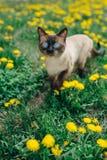 Diente de león del gato Imagen de archivo libre de regalías