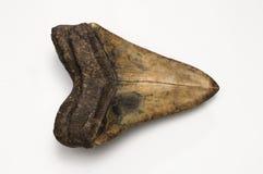 Diente de Megalodon Imágenes de archivo libres de regalías