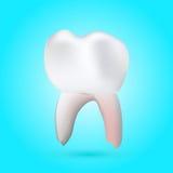 Diente molar sano Imagen de archivo libre de regalías