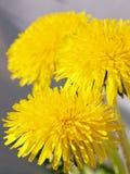 Dientes de león amarillos fotografía de archivo libre de regalías
