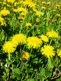 Dientes de león amarillos Imagen de archivo libre de regalías