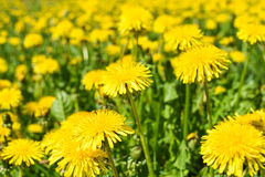 Dientes de león amarillos brillantes que florecen en un prado fotografía de archivo