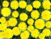 Dientes de león amarillos Dientes de león brillantes de las flores en el fondo de GR Foto de archivo libre de regalías