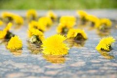 Dientes de león amarillos en agua en piedra Imágenes de archivo libres de regalías