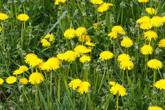Dientes de león amarillos en campo en primer del verano Imagenes de archivo