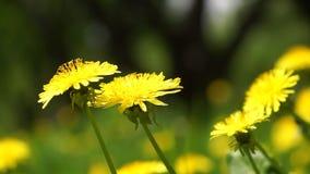 Dientes de león amarillos en el día solar del ` s del verano del claro del prado almacen de metraje de vídeo