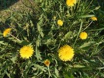 Dientes de león amarillos en el prado fotografía de archivo