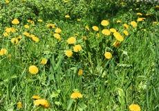 Dientes de león amarillos en la hierba verde fotos de archivo libres de regalías