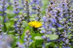 Dientes de león amarillos en la hierba y las flores del tomillo Imágenes de archivo libres de regalías