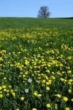 Dientes de león amarillos en prado Imagen de archivo