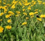 Dientes de león amarillos en prado verde con el abejorro Foto de archivo