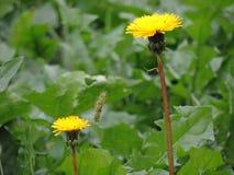 Dientes de león amarillos en prado verde de la primavera Fotos de archivo libres de regalías