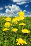 Dientes de león amarillos en un campo verde foto de archivo