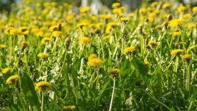 Dientes de león amarillos en un día de primavera soleado Imagenes de archivo