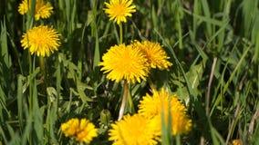 Dientes de león amarillos entre hierba verde metrajes
