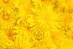 Dientes de león amarillos primer, fondo, textura Foto de archivo libre de regalías