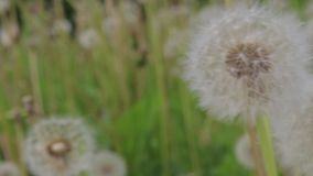 Dientes de león blancos en el verano, día ventoso metrajes