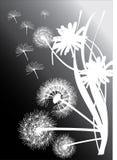 Dientes de león blancos en fondo negro Fotografía de archivo libre de regalías