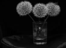 Dientes de león blancos en vidrio en el primer negro del fondo Fotografía de archivo