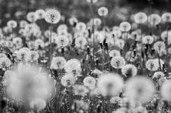 Dientes de león/blowballs en blanco y negro imágenes de archivo libres de regalías