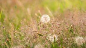 Dientes de león con un fondo borroso de la hierba Imagen de archivo