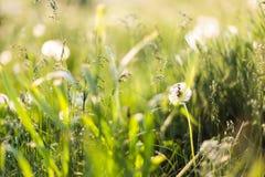 Dientes de león en el campo entre la hierba, primer Fotografía de archivo