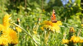 Dientes de león en el prado, mariposa metrajes